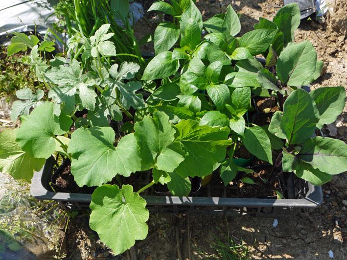 トウモロコシ発芽、ナス、ピーマン、スイカの苗植え付け4・15_c0014967_7295155.jpg
