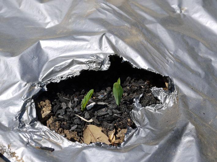 トウモロコシ発芽、ナス、ピーマン、スイカの苗植え付け4・15_c0014967_730561.jpg