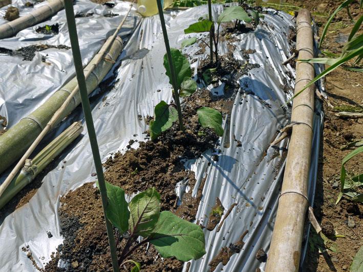 トウモロコシ発芽、ナス、ピーマン、スイカの苗植え付け4・15_c0014967_7312281.jpg