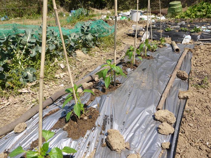 トウモロコシ発芽、ナス、ピーマン、スイカの苗植え付け4・15_c0014967_7324372.jpg