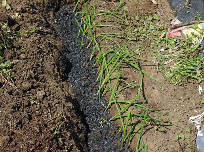 トウモロコシ発芽、ナス、ピーマン、スイカの苗植え付け4・15_c0014967_7334553.jpg