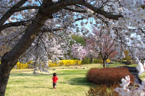 権現山運動公園の桜が満開_c0110869_263582.jpg