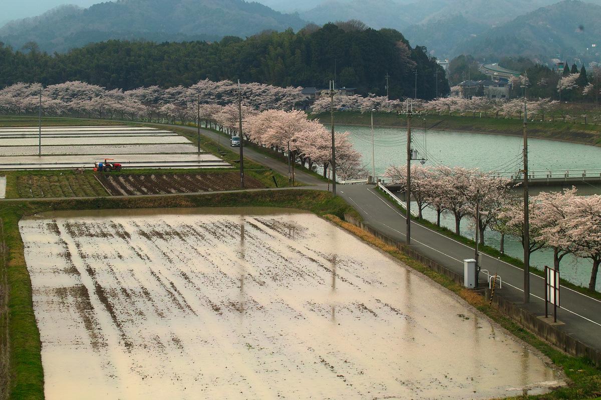 桜 2014 丹波                   _f0021869_2313525.jpg
