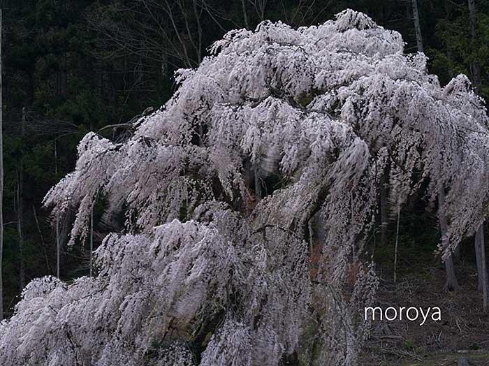 釈迦堂のしだれ桜_c0085877_711178.jpg
