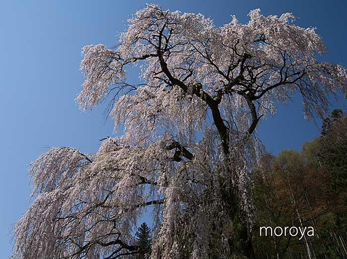 釈迦堂のしだれ桜_c0085877_7113271.jpg