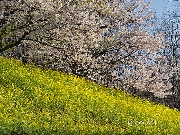 陸郷山桜_c0085877_7502874.jpg