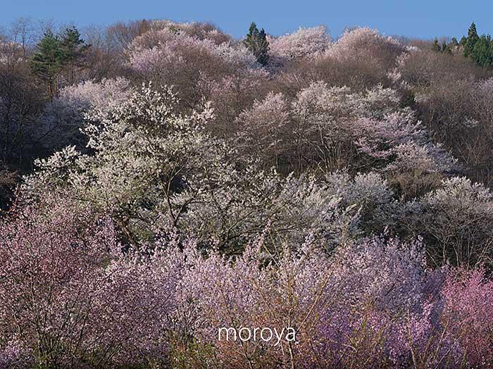 陸郷山桜_c0085877_7503798.jpg