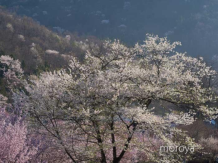 陸郷山桜_c0085877_7504467.jpg