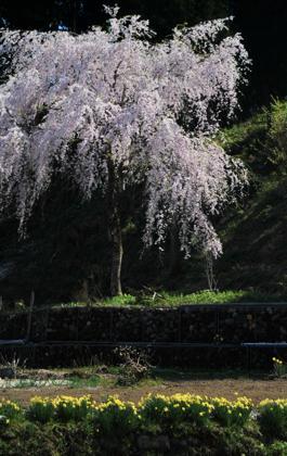 ドンピシャ満開の木の下で....あっというまに大きくなっちゃって...._b0194185_22561157.jpg