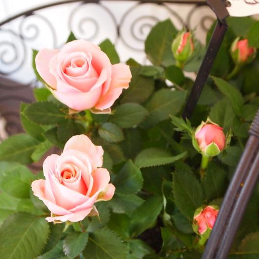 花もちが良いインフィニティローズ_a0292194_210294.jpg