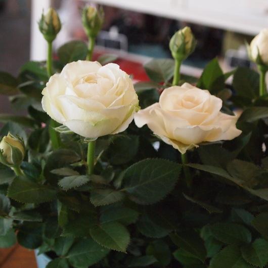 花もちが良いインフィニティローズ_a0292194_2111867.jpg