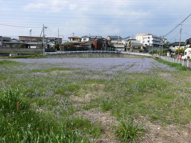 「紫のじゅうたん?」 これは何の花?_f0141310_6292010.jpg