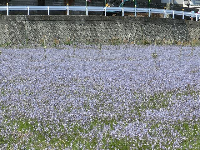 「紫のじゅうたん?」 これは何の花?_f0141310_6293237.jpg