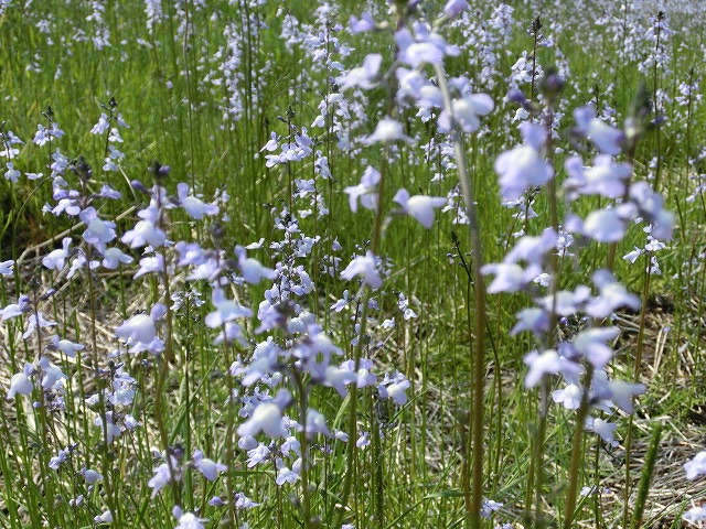 「紫のじゅうたん?」 これは何の花?_f0141310_6295597.jpg