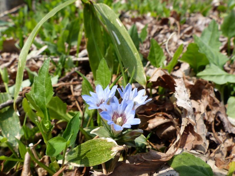 春の山野草_a0288621_22553735.jpg