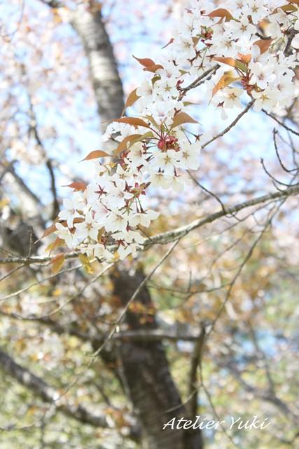 桜へ続く道^^_f0240834_22174797.jpg