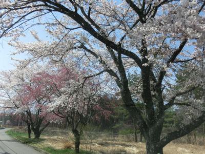 桜前線只今標高1000m♪_f0019247_10533237.jpg