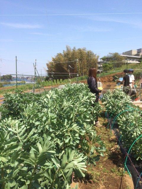 蔓ありインゲン豆の播種・・・_c0222448_13033802.jpg