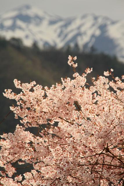 漢学の里の桜_a0267861_20293247.jpg
