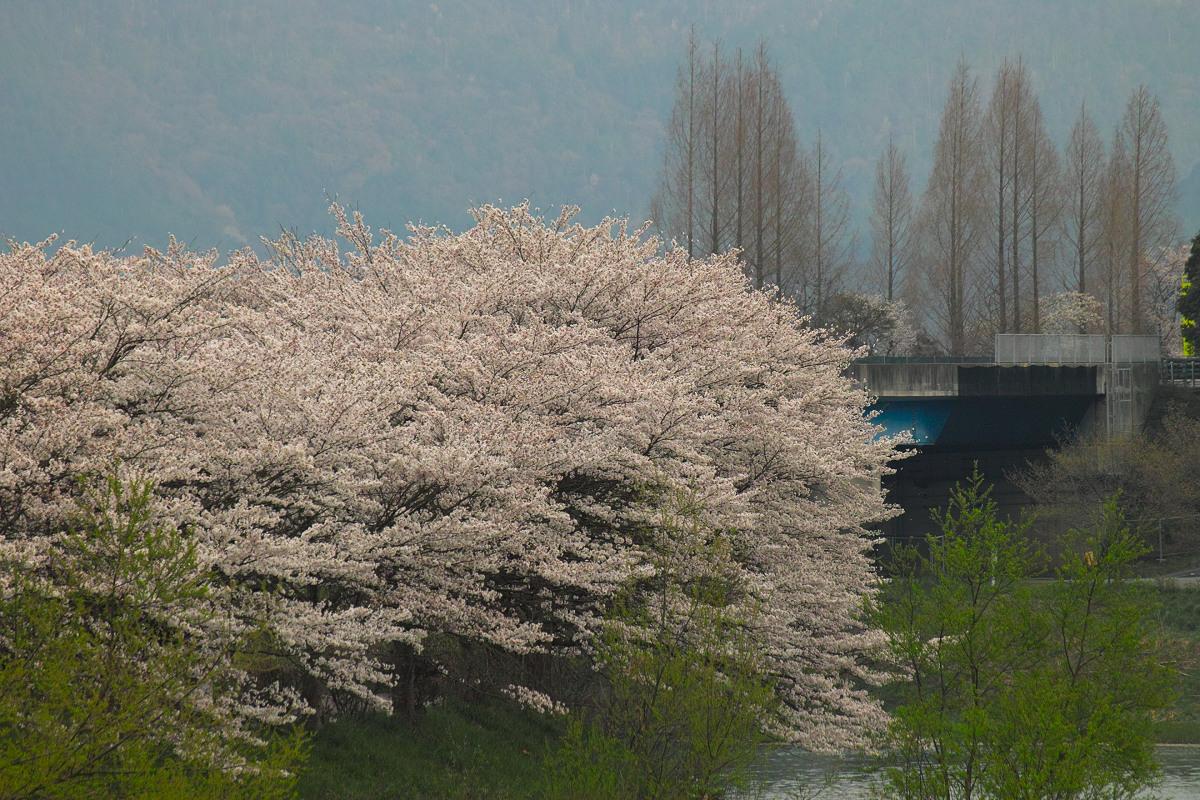 桜 2014 丹波                   _f0021869_23433534.jpg