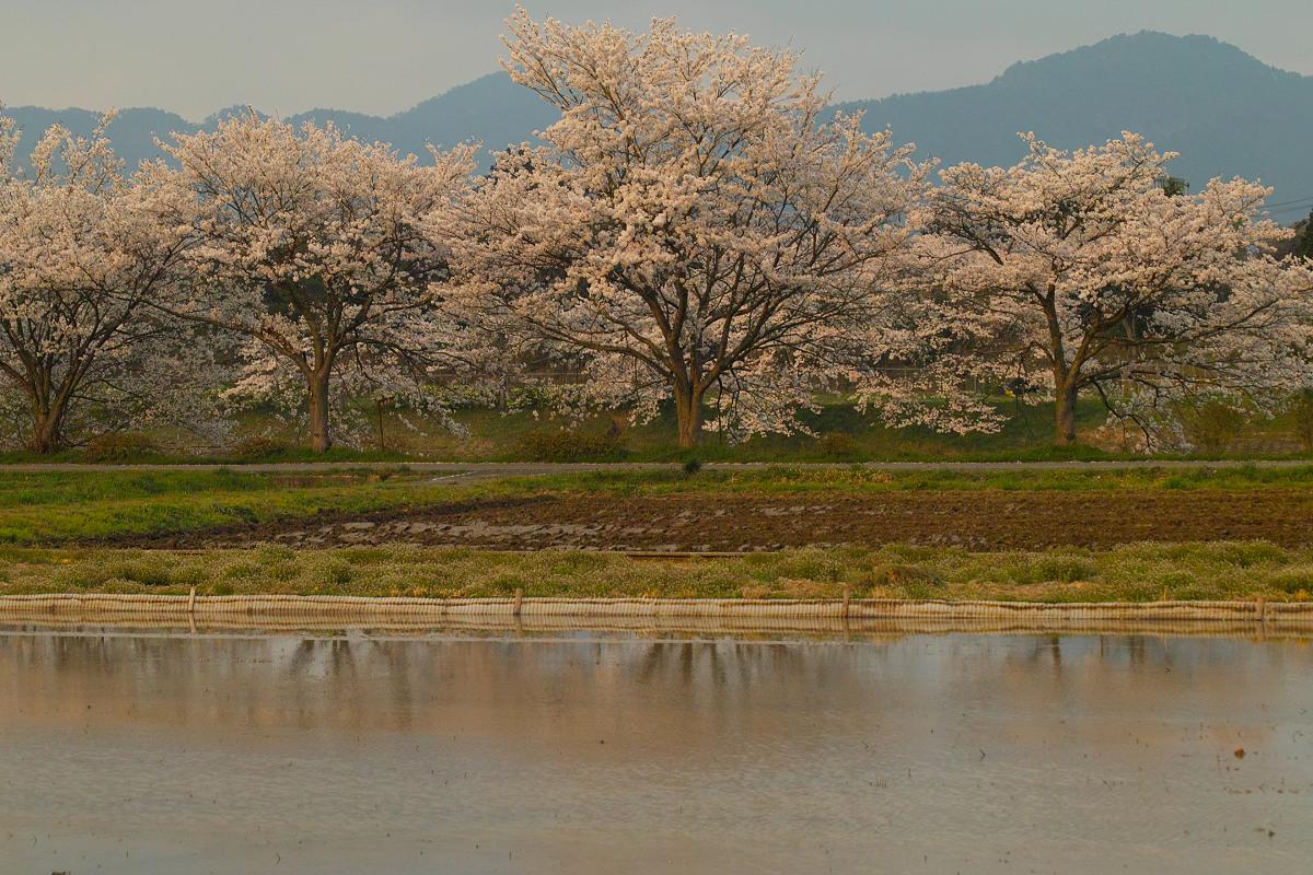 桜 2014 丹波                   _f0021869_23445850.jpg