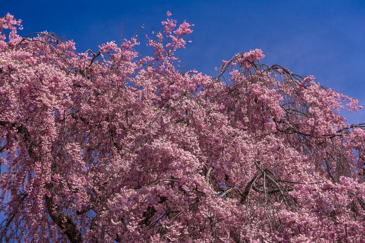 京北の桜を求めて ~後編~_e0051888_14323054.jpg