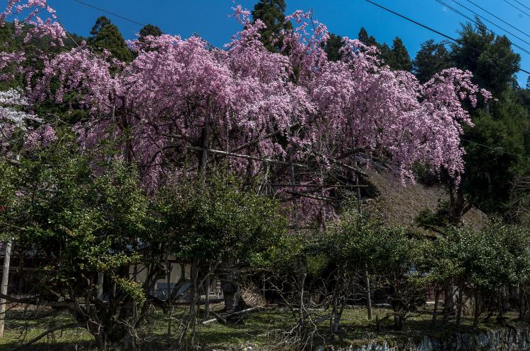 京北の桜を求めて ~後編~_e0051888_14332933.jpg