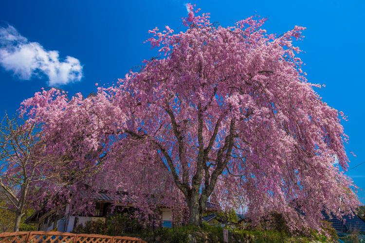京北の桜を求めて ~後編~_e0051888_14334639.jpg