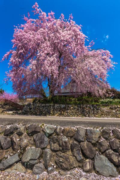 京北の桜を求めて ~後編~_e0051888_14335220.jpg