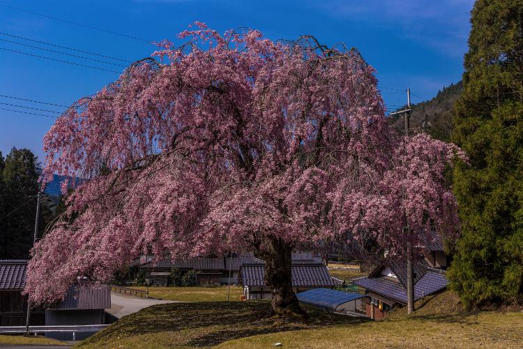 京北の桜を求めて ~後編~_e0051888_1433951.jpg