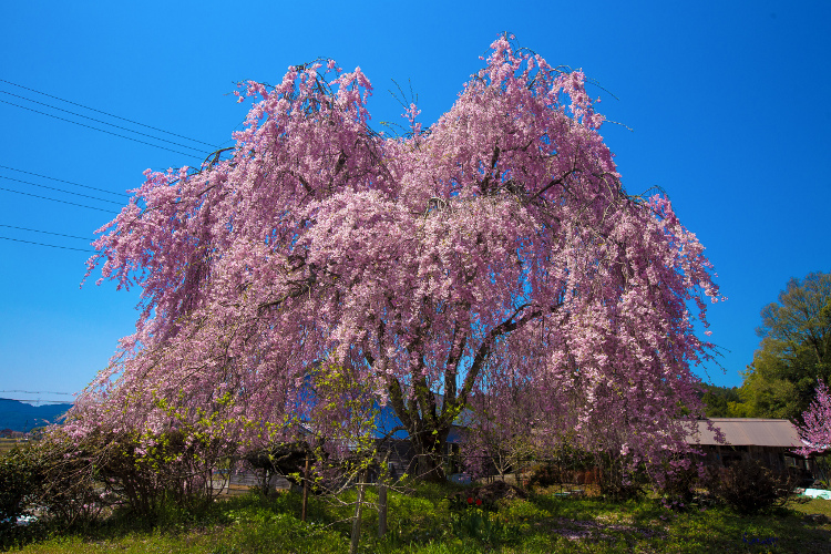 京北の桜を求めて ~後編~_e0051888_143401.jpg