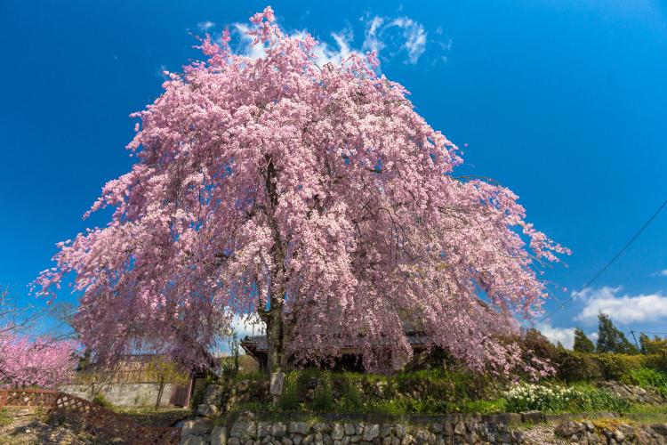 京北の桜を求めて ~後編~_e0051888_14342990.jpg