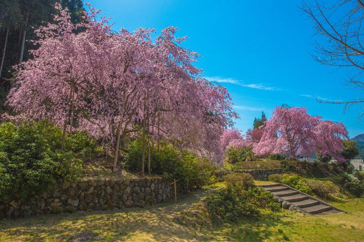 京北の桜を求めて ~後編~_e0051888_14354071.jpg