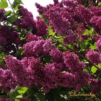 Lovely Lilac_f0238789_0514512.jpg