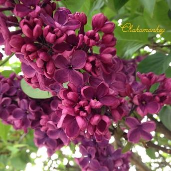 Lovely Lilac_f0238789_053994.jpg