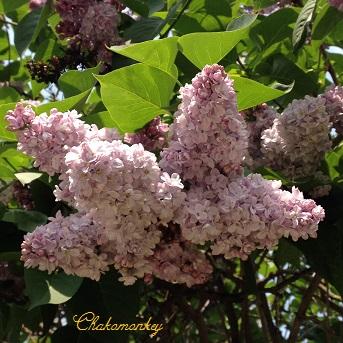 Lovely Lilac_f0238789_054179.jpg