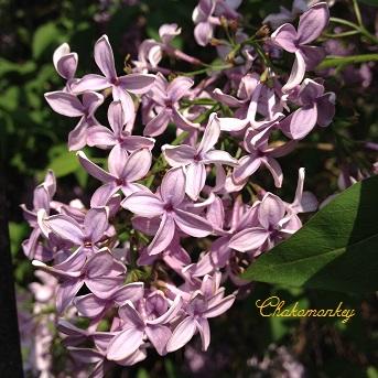 Lovely Lilac_f0238789_0543182.jpg