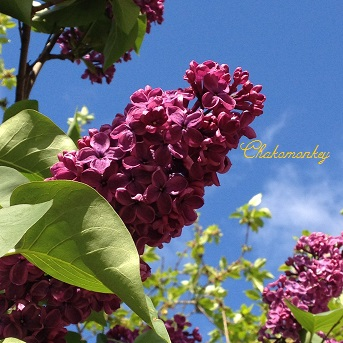 Lovely Lilac_f0238789_0575048.jpg