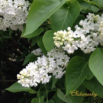 Lovely Lilac_f0238789_113211.jpg