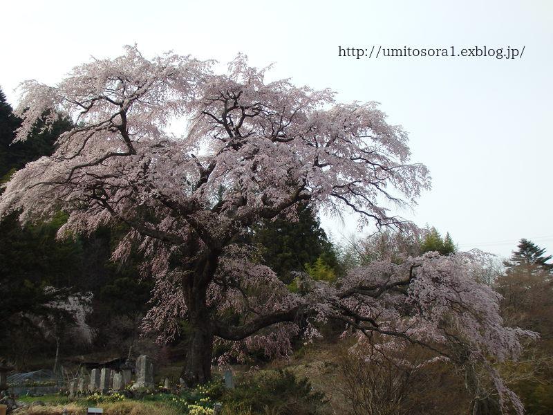 満開の黒船桜です_b0324291_22224074.jpg