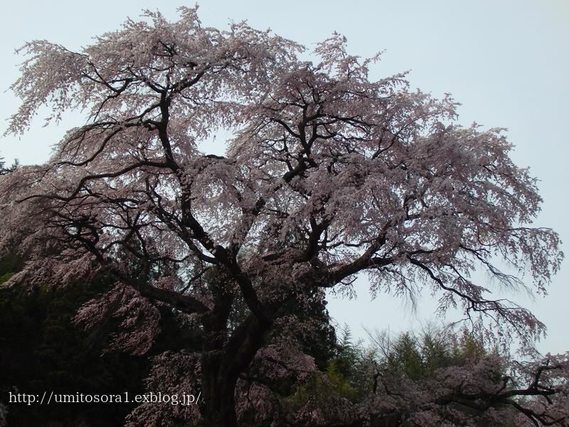 満開の黒船桜です_b0324291_22224500.jpg