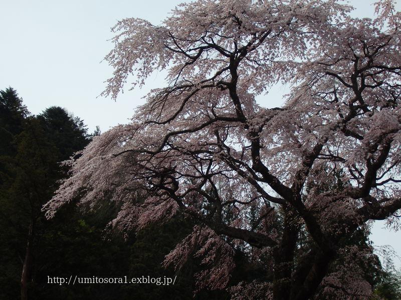 満開の黒船桜です_b0324291_22224943.jpg