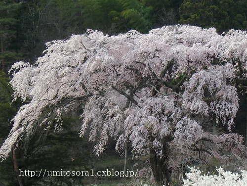 満開の黒船桜です_b0324291_23074993.jpg