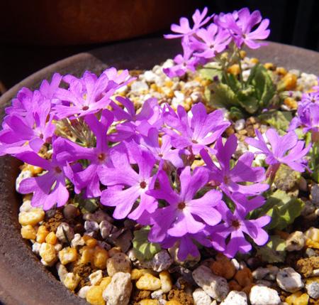 咲き始めたコザクラの仲間 (追記有り)_a0136293_201302.jpg