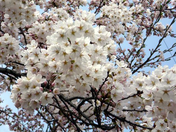 咲き始めたコザクラの仲間 (追記有り)_a0136293_2073957.jpg