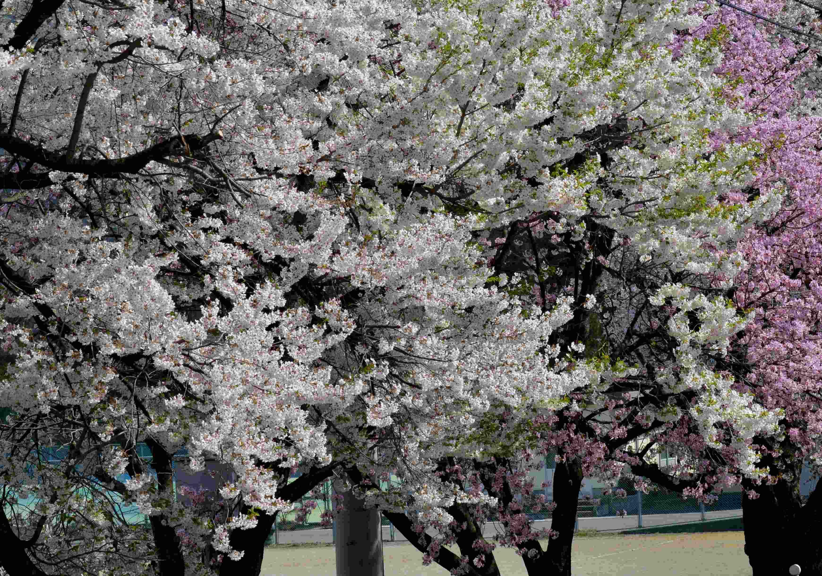 ヒメギフチョウ 更に長野県を北上してみました_d0254540_19354369.jpg