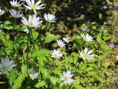 花だより ミヤコワスレ_a0279848_14434760.jpg