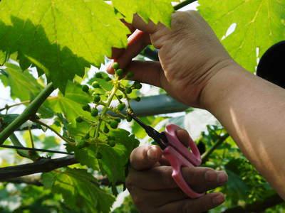 熊本ぶどう 社方園 蕾、花、着果 本物を育てる匠の技 その2_a0254656_17331893.jpg