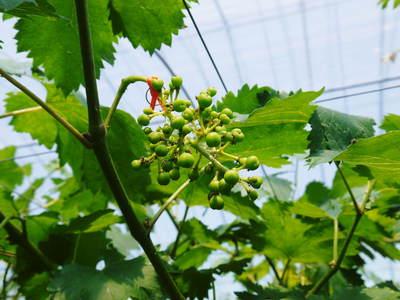 熊本ぶどう 社方園 蕾、花、着果 本物を育てる匠の技 その2_a0254656_17501875.jpg