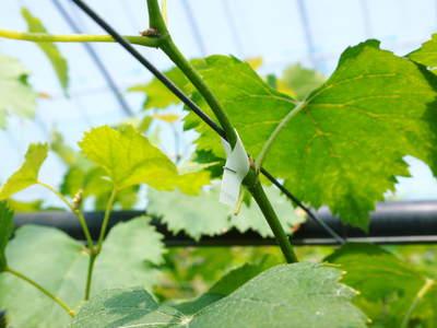 熊本ぶどう 社方園 蕾、花、着果 本物を育てる匠の技 その2_a0254656_18262518.jpg